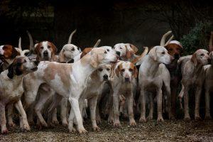 Duże rasy psów