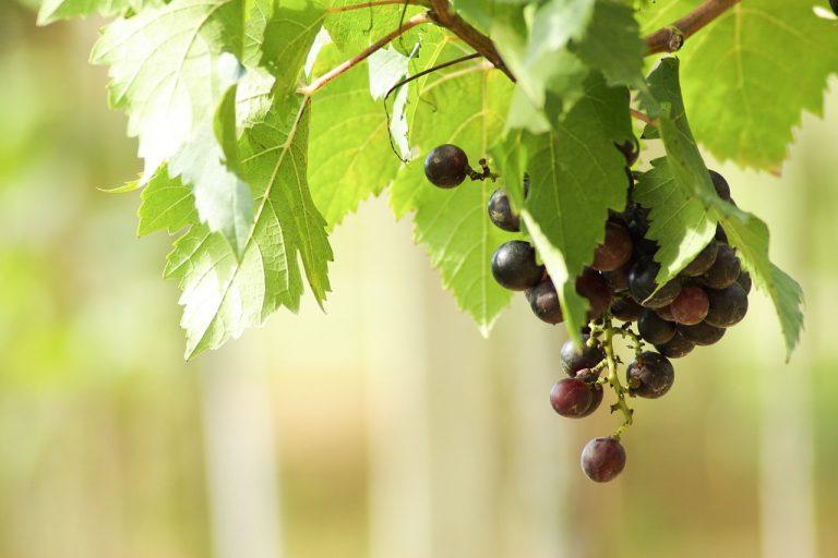 Przycinanie winorośli